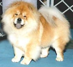 Our personal picture of:'The Ideal Chow Chow'